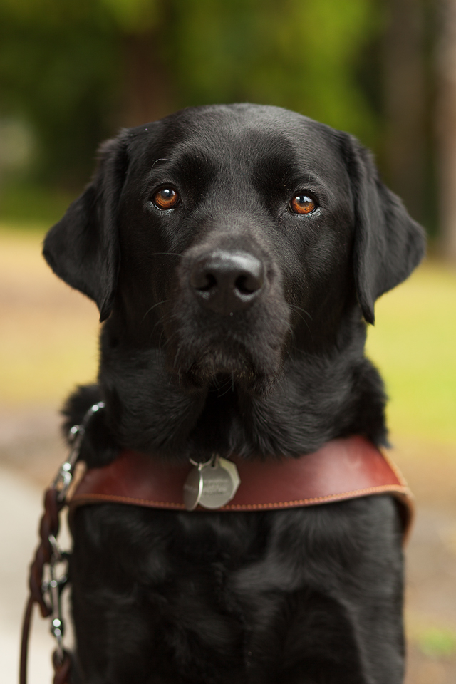A handsome black lab with warm brown eyes wearing a harness, looking directly at the camera.